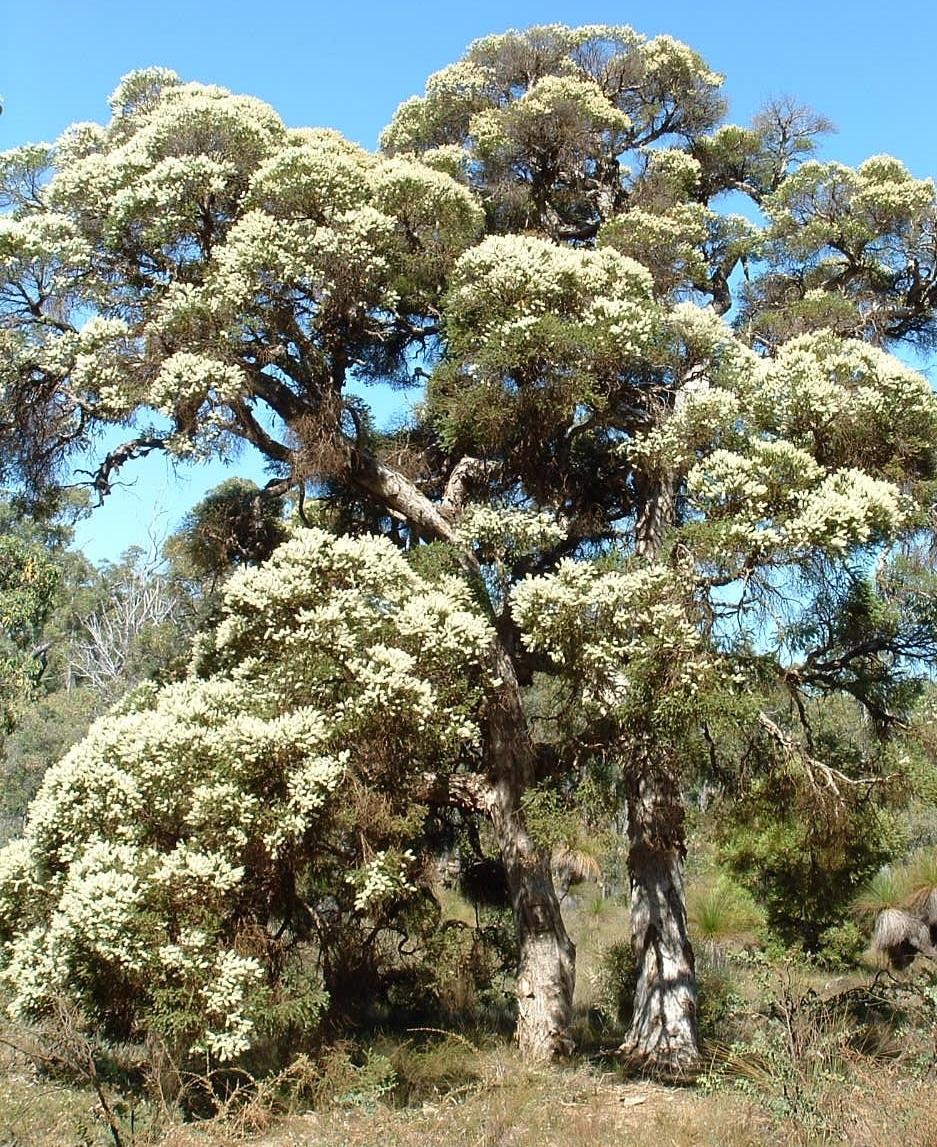 Christmas Tree Perth