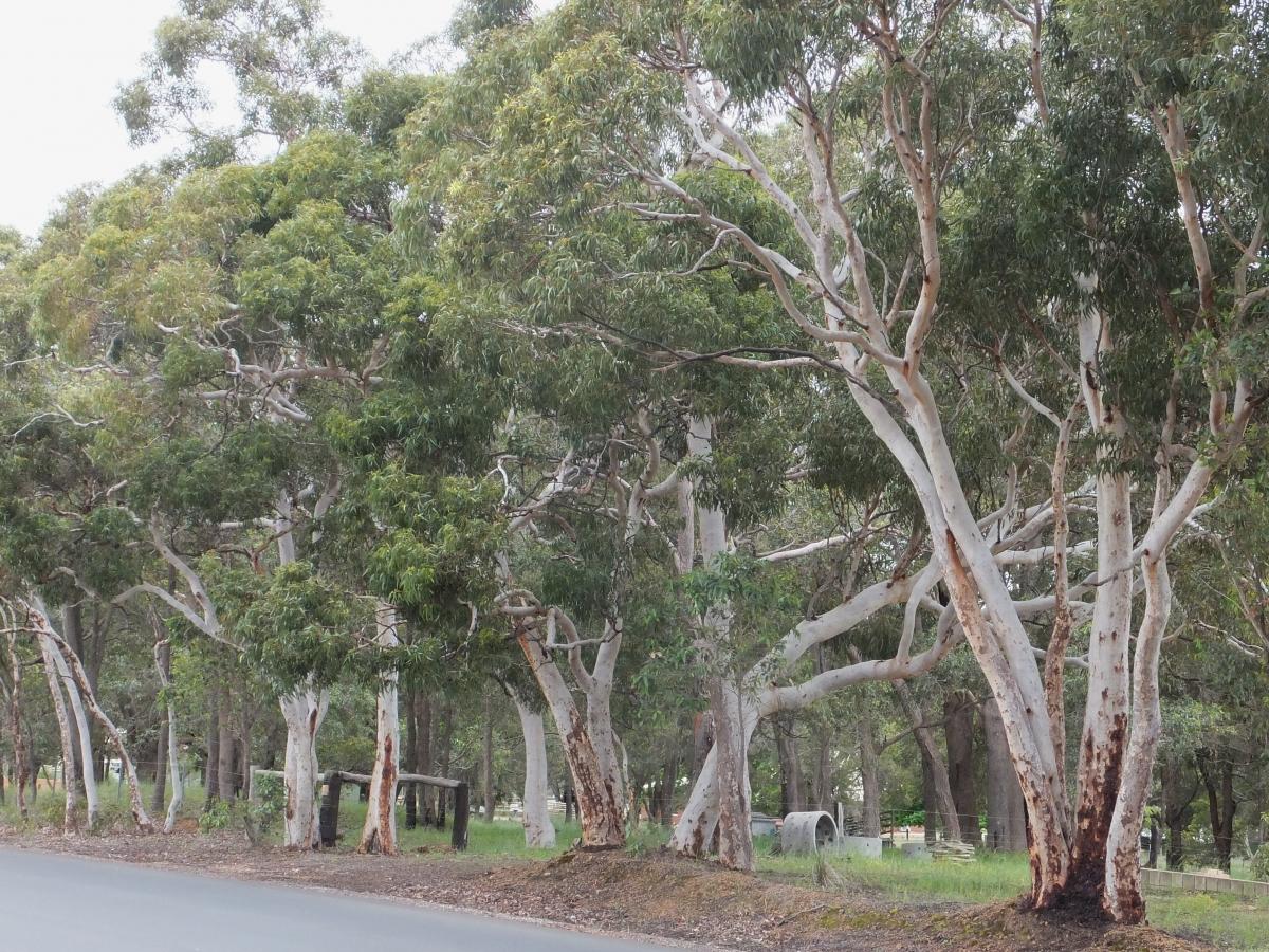 Salmon White Gum Eucalyptus Lane Poolei Robert Powell