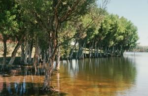 Freshwater paperbark 4