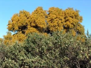 summer-scented wattle 3