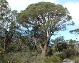 Common sheoak 5