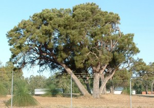 Common sheoak 2