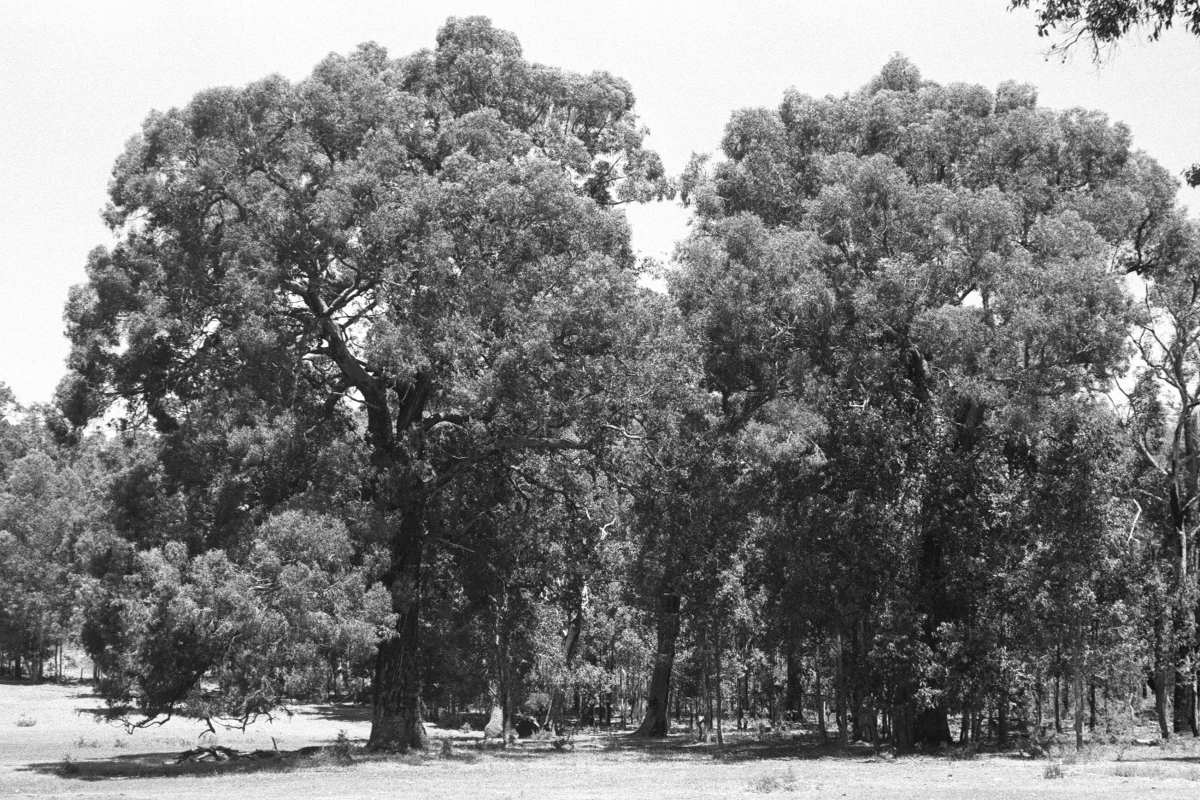 Yarri Eucalyptus Patens Robert Powell Tree Pictures