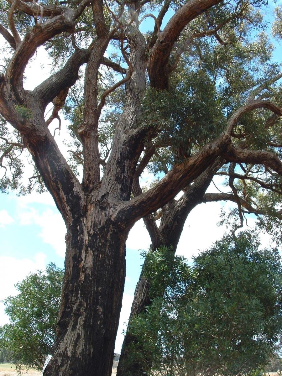 Yarri Eucalyptus Patens Robert Powell Tree Pictures