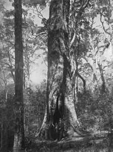 Timber forests 15