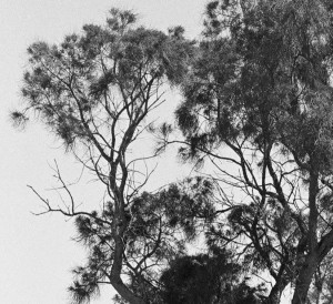 Common sheoak 4