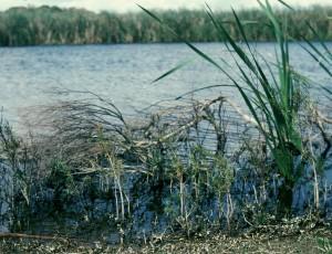 Freshwater paperbark 3