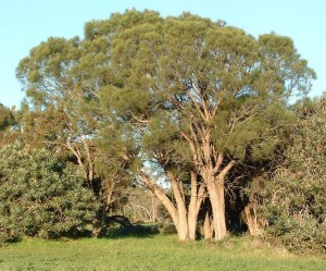 Common sheoak 1