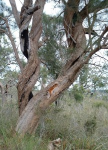 Common sheoak 6