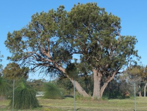 Common sheoak 3