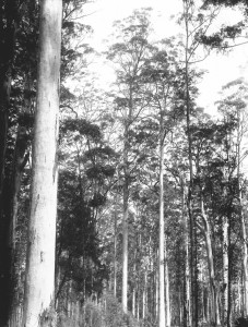 Timber forests 8